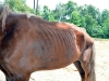 Malnourished Horse found June 3rd, 2012. (Photo by CPD-Officer Bryden)