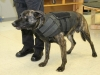Clarksville Police Service dog with his K-9 armor on. (Photo by CPD-Jim Knoll)