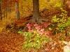 Glorious fall colors on Sweetgum Beech Trees