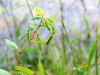 Jewelweed Seed Pods