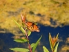 A Viceroy Butterfly on a plant at Swan Lake