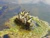 Tiger Swallowtails on Swan Lake