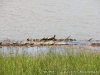 Some turtles sunning on some washed up logs along the flooded bank just off Wildlife road.