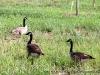 Geese out enjoying Liberty Park.