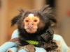 """Mormoset Monkey \""""Gizzy\"""" recovered by Petersburg Police. (Photo by CPD – Jim Knoll)"""