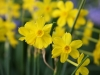 Jonquil Narcissus