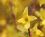 Forsythia flowers
