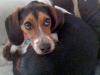 Beagle Lugosi