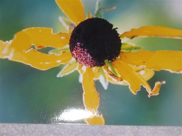 ff-sunflower.JPG