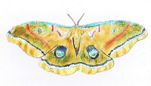 co-polyphemus-moth.JPG