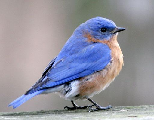 co-birds-eastern-bluebird-photo.jpg