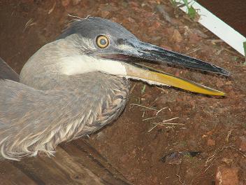 Heron, close-up