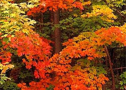 crimson_maple_trees