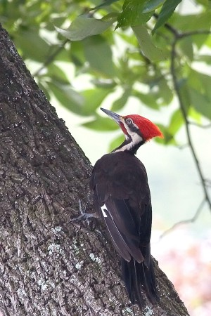 A Pileated Woodpecker (Mike and Jean Drummond)
