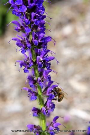 purplelarkspur