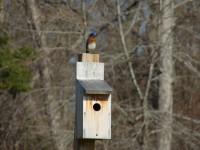 A Blue Bird on a Blue Bird box