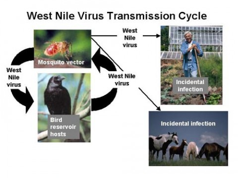 The West Nile Virus life cycle