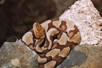 A Northern Copperhead