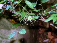 The fruit of the Clematis