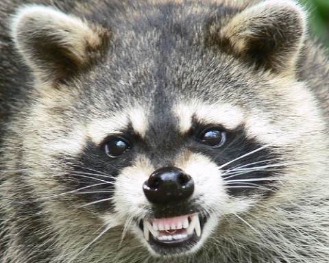 Tennessee Works with USDA, Other Southeast States to Prevent Raccoon Rabies