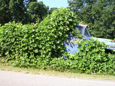 Kudzu, the plant that ate the south.
