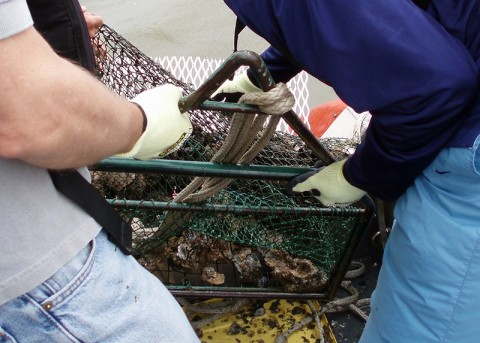 NOAA Mussel Watch scientist brings up a trawl full of Gulf Coast oysters for contamination testing. (Credit: NOAA NCCOS)