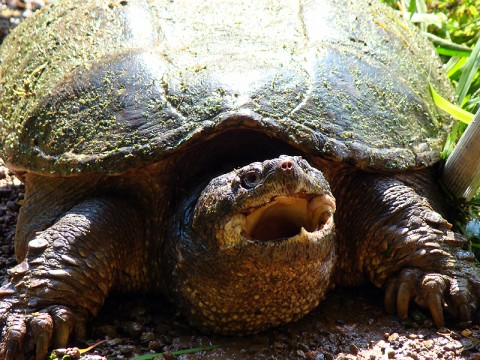Snapping Turtle, from trap, July 11, 2010