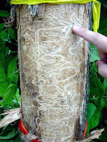 Signs of the Emerald Ash Borer found on this tree.