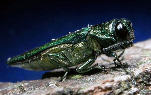 The emerald ash borer is one of many harmful pests that can reside undetected in firewood.
