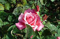 Rose or a Weed