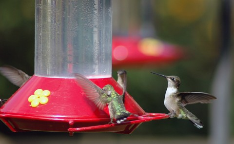 Migrating hummingbirds visiting feeders at Nature Station