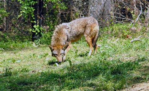 A female red wolf, part of LBL's recovery program, calls Nature Station her home.