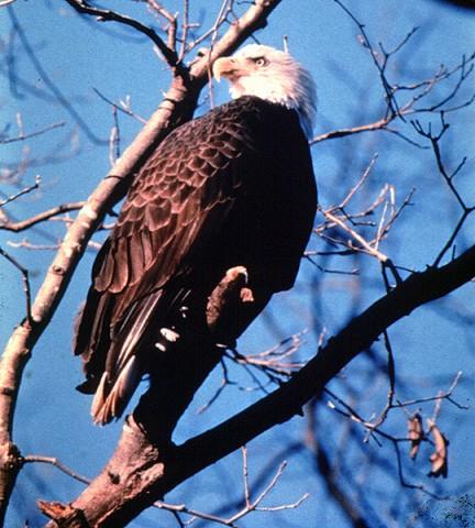 Winter Wanderers: Eagles & Waterfowl Migration van tours
