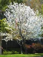 A Snow Goose Cherry Tree