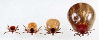 Female deer ticks, unengorged, 1/4 engorged, 1/2 engorged, fully engorged.