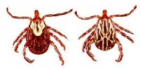 Gulf Coast ticks, female, male.