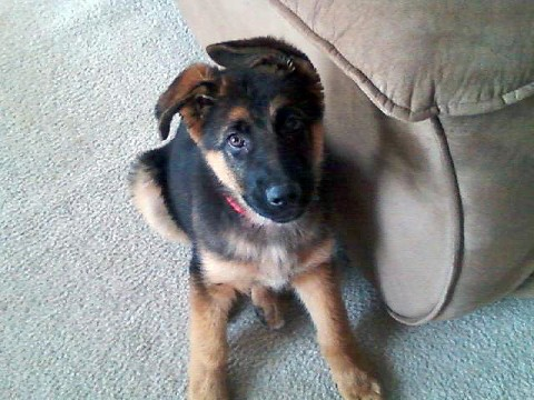 "Stolen 4 month old German Shepherd puppy named ""Sampson""."