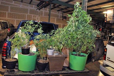 The marijuana plants were found growing inside the hosue. (Photo by CPD-Jim Knoll)