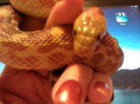 Sandy, a Baja Gopher snake owned by Sherry and Donnie Howell
