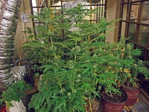 Marijuana plants found growing at a residence on King Road. (Photo by Agent Steve Hamilton-CPD)