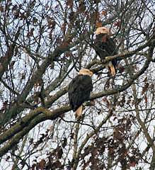 Bald Eagles (Photo by Sherry Bailey)