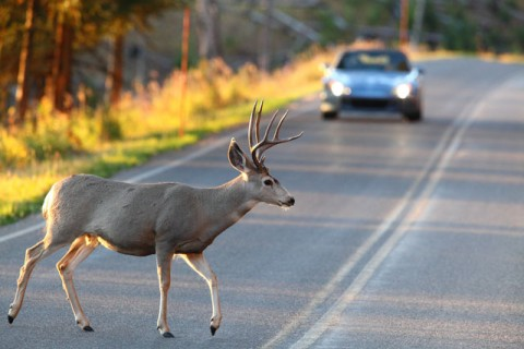 A deer crossing a road