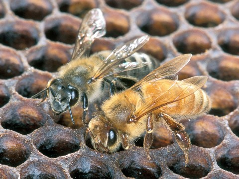 An Africanized honey bee (left) and a European honey bee on honeycomb. Despite color differences between these two bees, mostly they can't be identified by eye. (Photo by Scott Bauer)