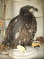 Eaglet rescued by Ray Stainfield.
