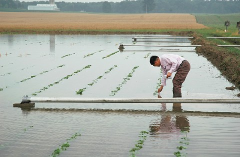 Ohio State University scientist Liming Chen examines flooded soybean plants. (Ann Houser)