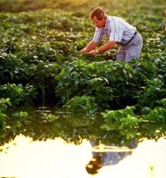 Agronomist Larry Heatherly examines early maturing variety of soybean plants growing in a flood-irrigated field in Mississippi. (Keith Weller)