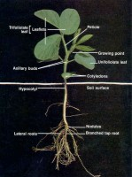 Soybean Plant (International Ag Labs)