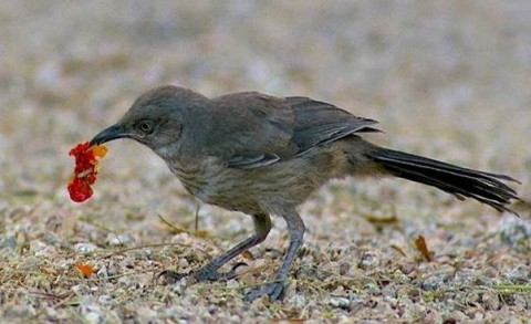 A curve-billed thrasher, a Sonoran desert species, forages in a xeric yard in Phoenix. (Eyal Shochat/Arizona State University)
