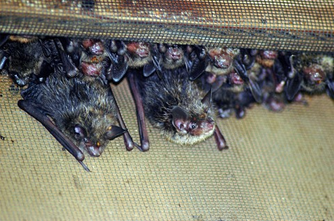 Little Brown Bats inside a Bat Box at Land Between The Lakes National Recreation Area. (Photo by Darrin Samborski, Forest Service)