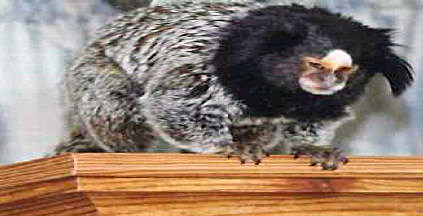 "Stolen Marmoset Monkey named ""Gizzy"""
